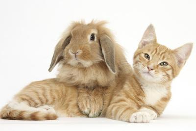 Ginger Kitten with Sandy Lionhead-Lop Rabbit-Mark Taylor-Photographic Print