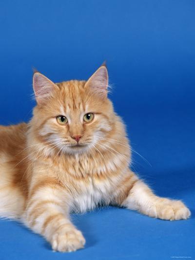 Ginger Norwegian Forest Cat-Petra Wegner-Photographic Print