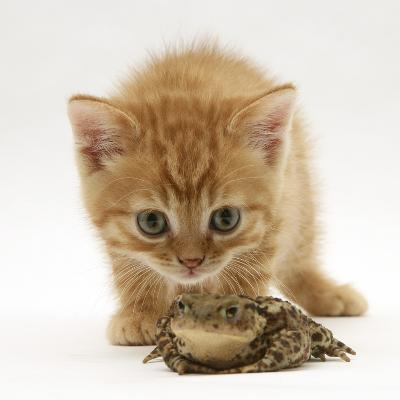Ginger Tabby Kitten Looking at Common European Toad (Bufo Bufo)-Mark Taylor-Photographic Print