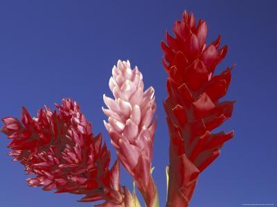 Ginger Trio and Blue Sky, Maui, Hawaii, USA-Darrell Gulin-Photographic Print