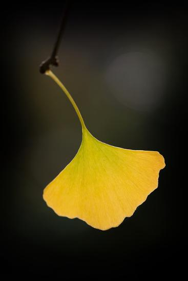 Gingko Symbol-Philippe Sainte-Laudy-Photographic Print