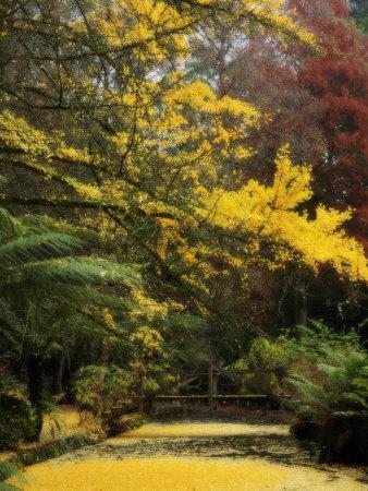 https://imgc.artprintimages.com/img/print/ginkgo-tree-dropping-autumn-leaves-alfred-nicholas-gardens-dandenong-ranges-victoria-australia_u-l-p7u1te0.jpg?p=0