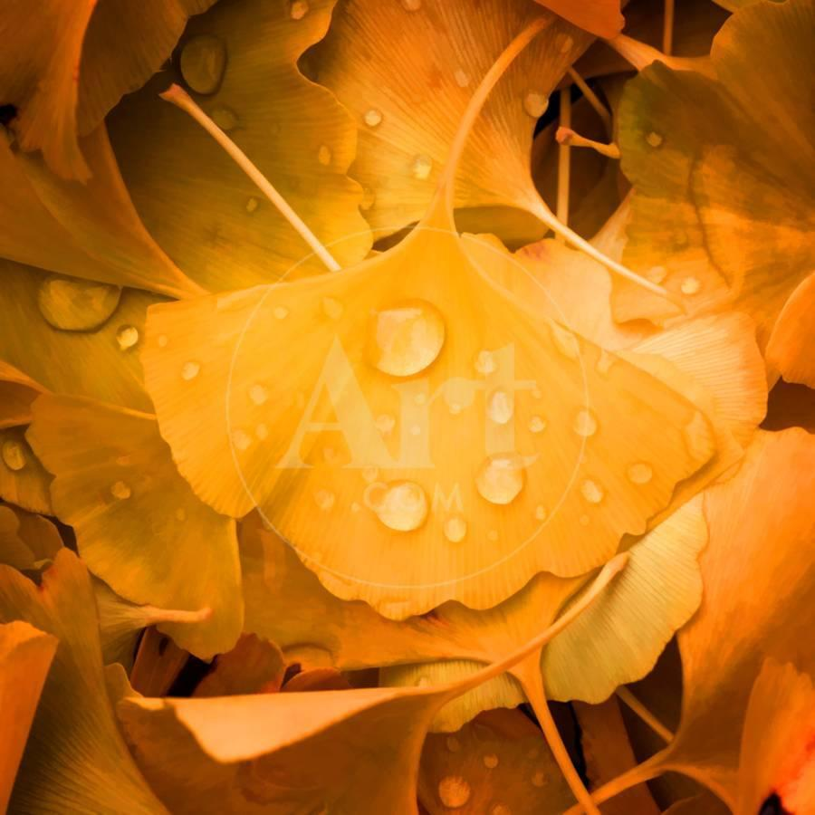 Ginkgo Yellow Leaf Photographic Print by Philippe Sainte-Laudy | Art.com