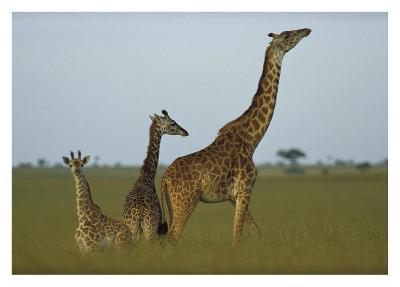 Giraffe adult and juveniles on savanna, Kenya-Tim Fitzharris-Art Print