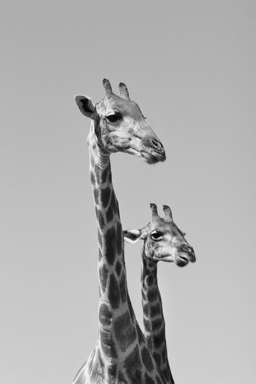 Giraffe - African Wildlife Background - Pair of Necks and Heads-Stacey Ann Alberts-Photographic Print