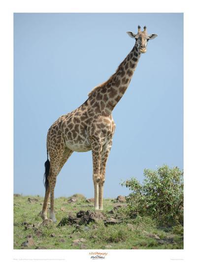 Giraffe against the Blue Sky-Martin Fowkes-Giclee Print