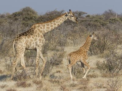 https://imgc.artprintimages.com/img/print/giraffe-and-baby-on-guard-etosha-national-park_u-l-q1det0p0.jpg?p=0