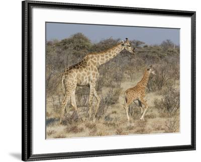 Giraffe and baby on guard, Etosha National Park-Darrell Gulin-Framed Photographic Print