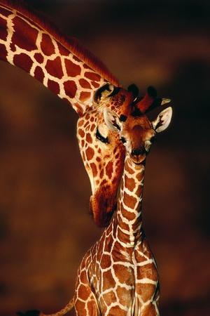 Giraffe and Baby-Lantern Press-Art Print