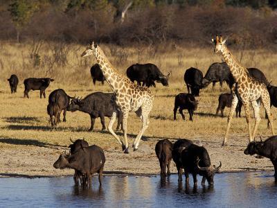 Giraffe and Cape Buffalo Drinking at Nyamandlove Pan, Hwange National Park, Zimbabwe-William Sutton-Photographic Print