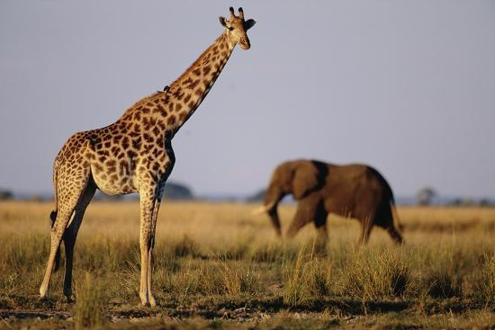 Giraffe and Elephant on the Savanna-Paul Souders-Photographic Print