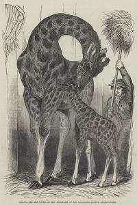 Giraffe and Her Young, at the Menagerie of the Zoological Society, Regent'S-Park