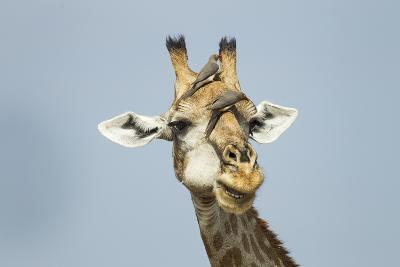 Giraffe and Red-Billed Oxpeckers, Moremi Game Reserve, Botswana-Paul Souders-Photographic Print