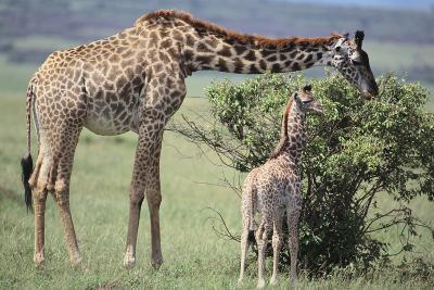 Giraffe and Young Eating a Bush-DLILLC-Photographic Print