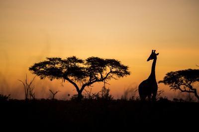 Giraffe at Dusk, Chobe National Park, Botswana-Paul Souders-Photographic Print