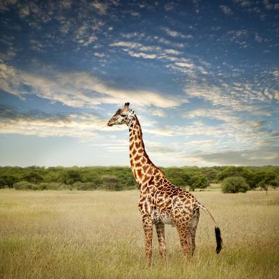 Giraffe at Serenget in National Park,Tanzania-JoSon-Photographic Print