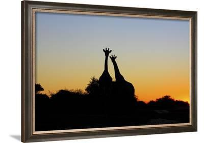 Giraffe at Sunset--Framed Photographic Print