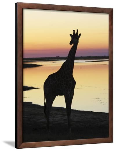 Giraffe at Sunset--Framed Photographic Print