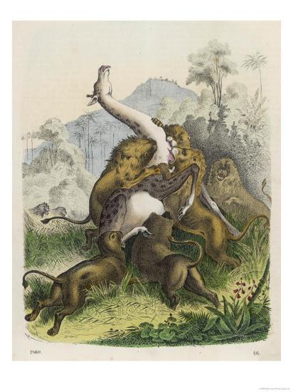 Giraffe Attacked by Six Lions--Giclee Print