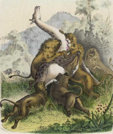 Giraffe Attacked by Six Lions