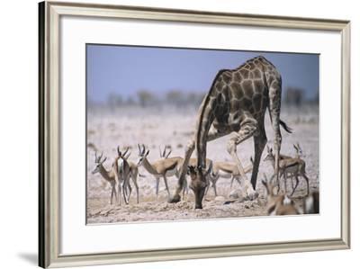 Giraffe Bending Over-DLILLC-Framed Photographic Print
