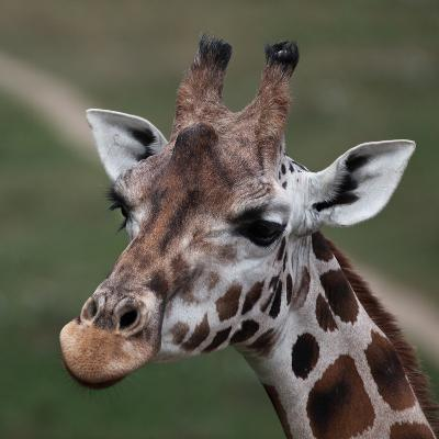 Giraffe - Close-Up Portrait Of This Beautiful African Animal-l i g h t p o e t-Photographic Print