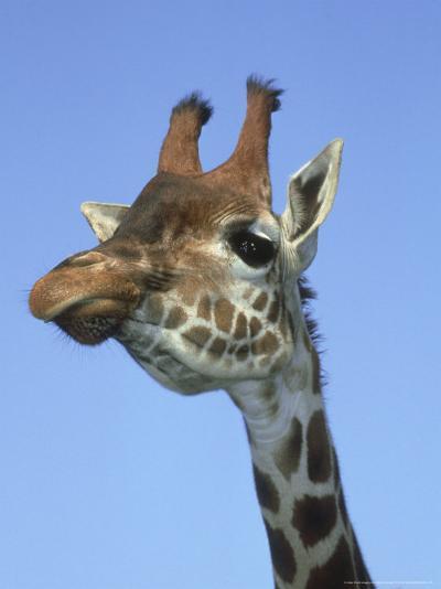 Giraffe, Close-up Portrait-Mark Hamblin-Photographic Print