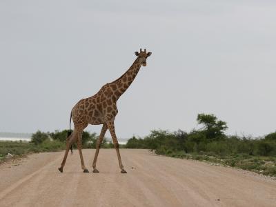 Giraffe Crossing the Road-Uros Ravbar-Photographic Print