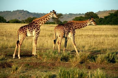 Giraffe Drinking in the Grasslands of the Masai Mara Reserve (Kenya)-Paul Banton-Photographic Print