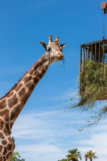 Giraffe Eating in Zoo on a Background of Blue Sky-master1305-Photographic Print