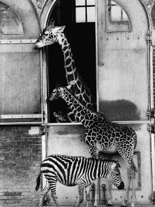 Giraffe Family and Zebra