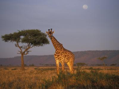 Giraffe Feeding on Savanna, Masai Mara Game Reserve, Kenya-Paul Souders-Photographic Print
