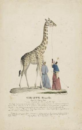 Giraffe femelle