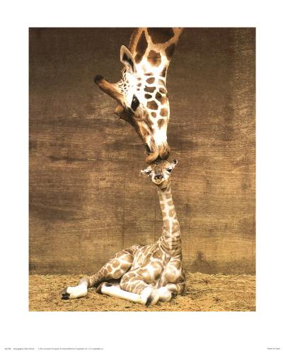 Giraffe, First Kiss-Ron D'Raine-Art Print