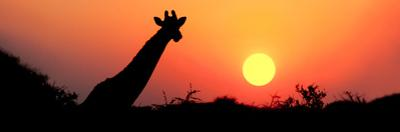 Giraffe (Giraffa Camelopardalis) at Sunset, Etosha National Park, Namibia
