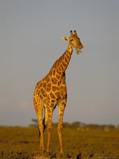 Giraffe (Giraffa Camelopardalis) Grazing, Etosha National Park, Namibia, Africa-Steve & Ann Toon-Photographic Print
