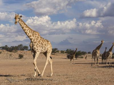 Giraffe (Giraffa Camelopardalis), Kgalagadi Transfrontier Park, Northern Cape, South Africa, Africa-Ann & Steve Toon-Photographic Print