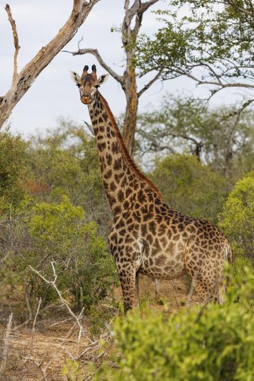 Giraffe (Giraffa camelopardalis), Mkhaya Game Reserve, Swaziland, Africa-Christian Kober-Photographic Print