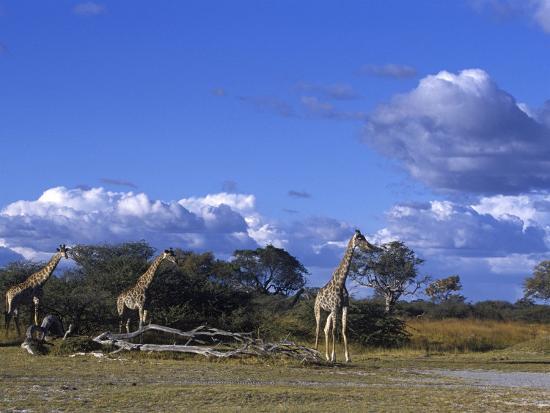Giraffe, Giraffa Camelopardalis, Moremi Wildlife Reserve, Botswana, Africa-Thorsten Milse-Photographic Print