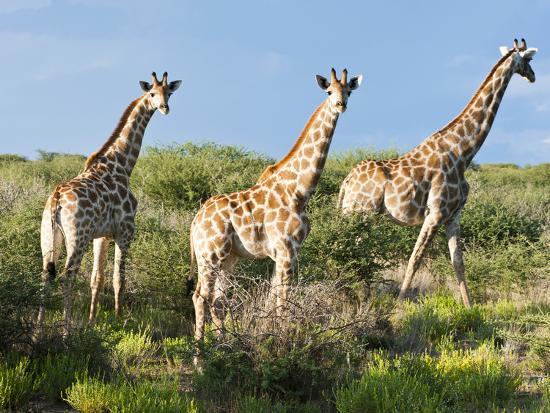 Giraffe (Giraffa Camelopardalis), Namibia, Africa-Nico Tondini-Photographic Print