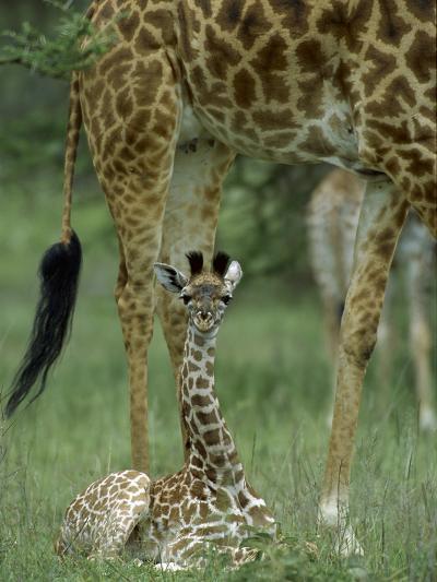 Giraffe (Giraffa Camelopardalis) Newborn Calf, Ngorongoro Conservation Area, Tanzania-Suzi Eszterhas/Minden Pictures-Photographic Print
