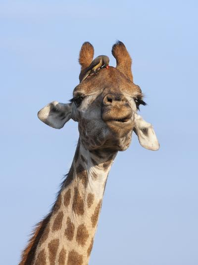 Giraffe (Giraffa Camelopardalis), with Redbilled Oxpecker, Hluhluwe-Imfolozi Park, South Africa-Ann & Steve Toon-Photographic Print
