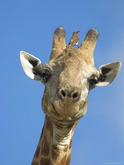 Giraffe, Giraffa Camelopardalis, with Redbilled Oxpecker, Mpumalanga, South Africa-Ann & Steve Toon-Photographic Print