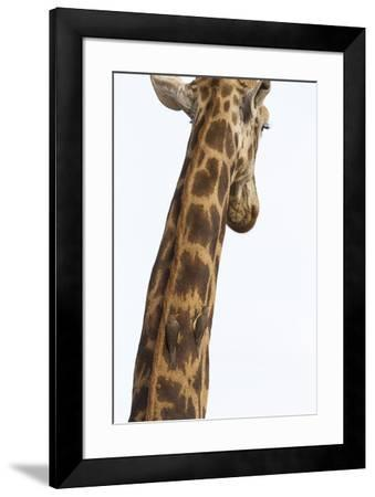 Giraffe (Giraffa camelopardalis) with redbilled oxpeckers (Buphagus erythrorhynchus), Kruger Nation-Ann and Steve Toon-Framed Photographic Print