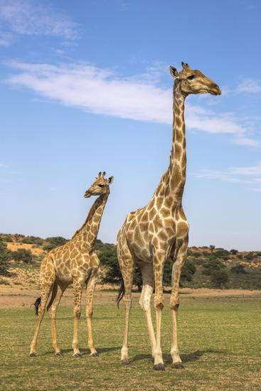 Giraffe (Giraffa Camelopardalis) with Young, Kgalagadi Transfrontier Park, Northern Cape, Africa-Ann & Steve Toon-Photographic Print