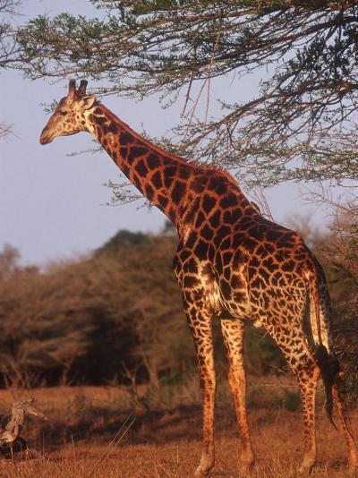 Giraffe, Giraffa Camelopardalis-Yvette Cardozo-Photographic Print