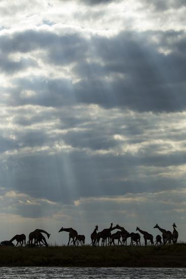 Giraffe Herd along Chobe River, Chobe National Park, Botswana-Paul Souders-Photographic Print