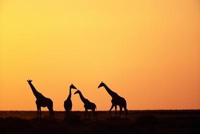 Giraffe Herd at Sunset--Photographic Print
