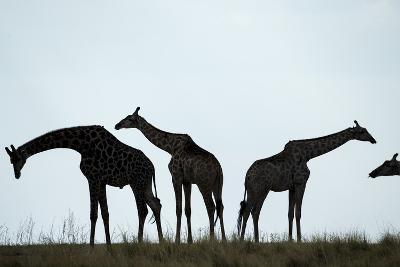 Giraffe Herd, Chobe National Park, Botswana-Paul Souders-Photographic Print