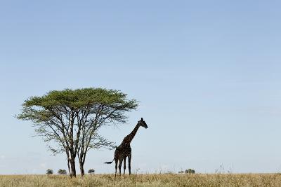 Giraffe Herd--Photographic Print